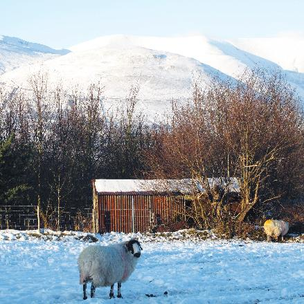 Rough Fell Sheep in Snowy Field