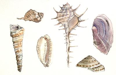 Arabian Sea Shells