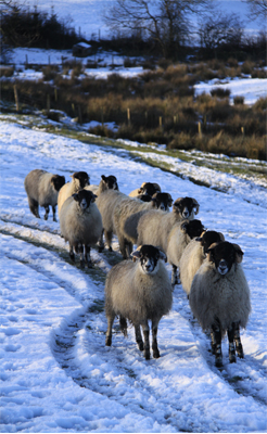 Sheep_Contact Us_small