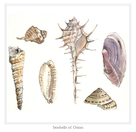 Seashells of Oman